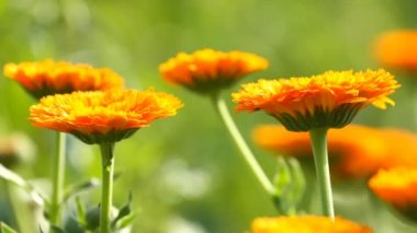 Flower of calendula — Stock Video