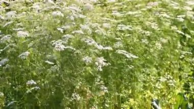 Coriander flowers — Stock Video
