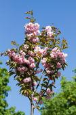 Sakura kwiat różowy — Zdjęcie stockowe