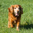 Cocker Spaniel — Stock Photo #29427051