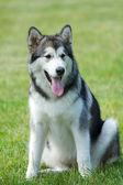 Portrait husky . — Stock Photo