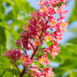 Blossomchestnut tree — Stock Photo