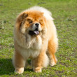 Dog chow chow — Stock Photo