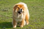 Dog chow chow — Stock Photo