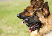 Shepherd Dogs — Stock Photo