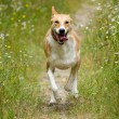 Stock Photo: Happy dog running