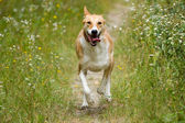 Happy dog running — Stock Photo