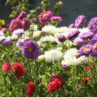 Colorful  Aster flowers  — Stock Video