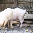 Stock Video: Piglets farmyard.