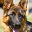 Stock Photo: GermShepherd dogs