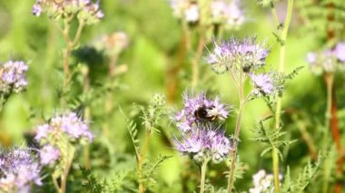 Bumblebee and phacelia flower — Stock Video