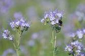 Bumblebee and phacelia flowers — Stock Photo