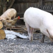 Piglets — Stock Video #30608529