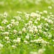 Stock Video: White clover (Trifolium repens)