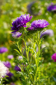 Colorful Aster flowers — Stock Photo