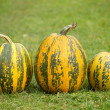 Autumn pumpkins — Stock Photo #31251423