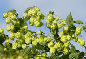Ripe hop — Stock Photo