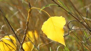 Autumn poplar leaf — Stock Video