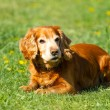 English cocker Spaniel — Stock Photo #31966103