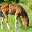Beautiful foal  — Stock Photo #33329181