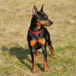 Miniature Pinscher — Stock Photo #35393615