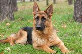 Alman çoban köpek — Stok fotoğraf