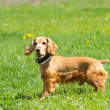 Cocker Spaniel — Stock Photo #36114995