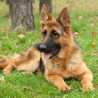 German Shepherd dog — Stockfoto