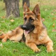 German Shepherd dog — Stok fotoğraf