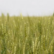 Green wheat — Stok video
