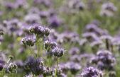 Phacelia flor — Foto Stock