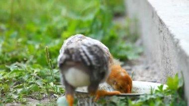 Baby chicks — Stock Video