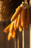 Dried corn hunging — Stock Photo
