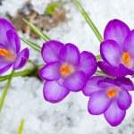 Beautiful spring crocuses — Stock Photo #40664119