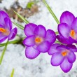 Beautiful spring crocuses — Stock Photo #40664119