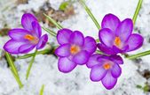 Beautiful spring crocuses — Stock Photo