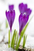 美丽的紫番红花 — 图库照片