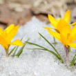 Yellow crocuses — Stock Photo #42896843