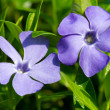 Periwinkle flowers  — Stock Photo #45156789