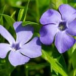 Periwinkle flowers — Stock Photo #45156789