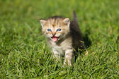Striped baby kitten — Stock Photo