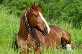 Kůň položenou — Stock fotografie