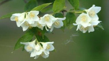 Flower of Jasmine — Stock Video