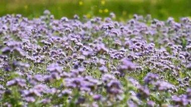 Fiori phacelia fiore — Video Stock