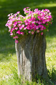 Petunia flowers grow on a stump — Stock Photo