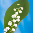 Lily of the valley — Stock Photo #8186063