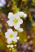 Cherry blossom landscape — Stock Photo