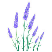 Lavender herb flowers — Stock Vector