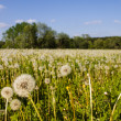 Dandelions turned to Seed in a Field - Stock Photo