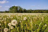 Dandelions turned to Seed in a Field — Stock Photo